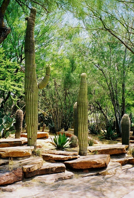 Saguaro Cactus at Cactus Gardens - Ethel M. Chocolate Factory