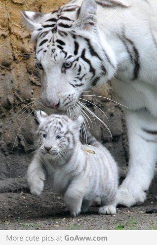Tigre branco!
