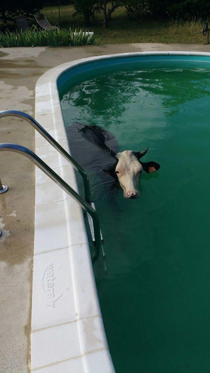 Des habitants du Haut-de-Rieupt à Pont-à-Mousson se sont réveillés avec une génisse dans leur piscine. Celle-ci s'était échappée d'un champ voisin. Les pompiers ont bataillé pour l'en extraire. Photo DR