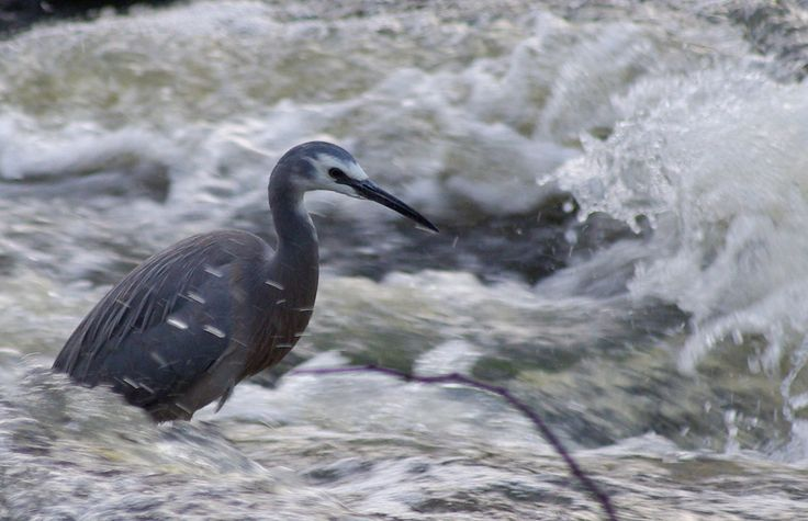 Heron non phased by the waters activity
