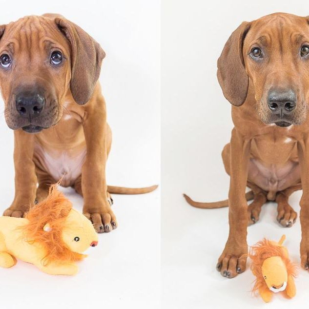 I hate cheap plush toys, you wash them once and look how much they shrink! (More photos and delusions of a man unwilling to admit his puppy has grown up on today's blog, link in bio)    ____________________________  #rhodesianridgeback #projectrr #ridgebacksofinstagram #dog #dogs #hound #dogsofinstagram #dogoftheday #excellent_dogs #petstagram #primepet #chicago #pets #petsofinstagram #pets_perfection #puppy #ilovemydog #bestwoof  #houndandlife #akc