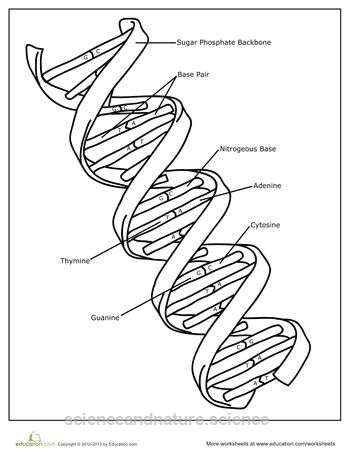DNA Coloring Page Worksheets: DNA Coloring Page http://www