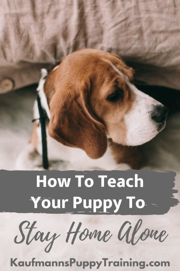 How To Teach Your Puppy To Stay Home Alone Kaufmann S Puppy