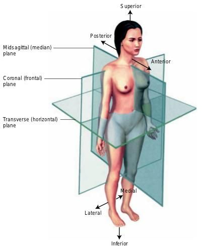 Body Planes | Figure. Body planes. Note that the body is in the anatomical position.
