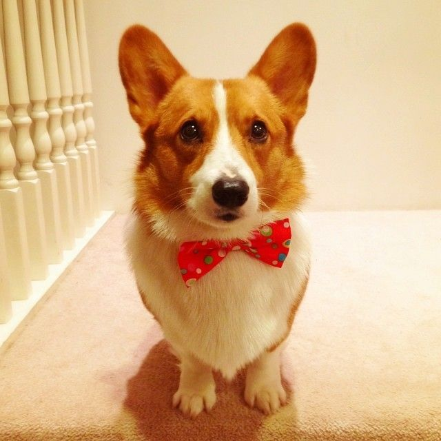 New @CorgiApparel bow ties available at www.corgiapparel.com! This is my clowny one