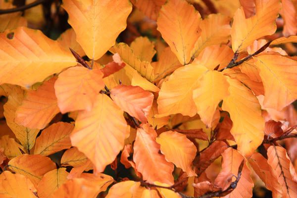 fagus at chelsea - Google Search