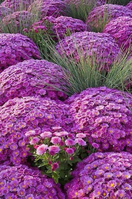 field of purple chrysanthemums~ Ana Rosa. They are mosquito and Japanese beetle repellent flowers