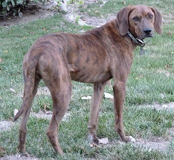 Plott Hound Dog Breed Information and Pictures