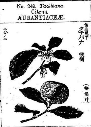 橘 Neroli, 有用植物図説 (1891)