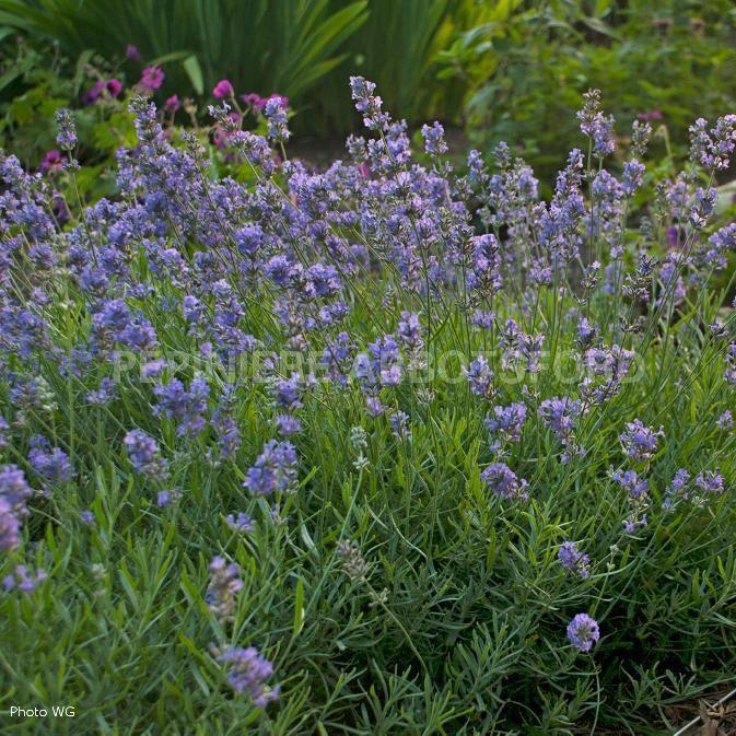 """LAVANDULA 'BLUE CUSHION' (ANGUSTIFOLIA)  Véritable coussin parfumé rond et compact. Floraison du début à la fin de l'été dont le bleu pâlit à maturité. Enlever les fleurs fanées améliore la floraison.  L :  16"""". H :  16"""". Zone  5  . Vert gris. Bleu intense / juin-août"""