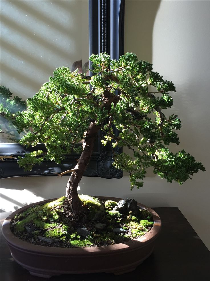 My bonsai juniper 2 after wiring potting and landscaping. 24-06-16 #bonsai #tree #gardening