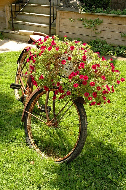 Beautiful, creative outdoor lawn decor is a gorgeous Bicycle carrying Red Petunias. So pretty!
