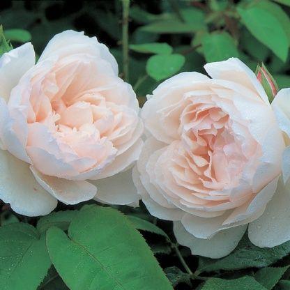 The Generous Gardener Climbing - David Austin Roses                                                                                                                                                                                 More