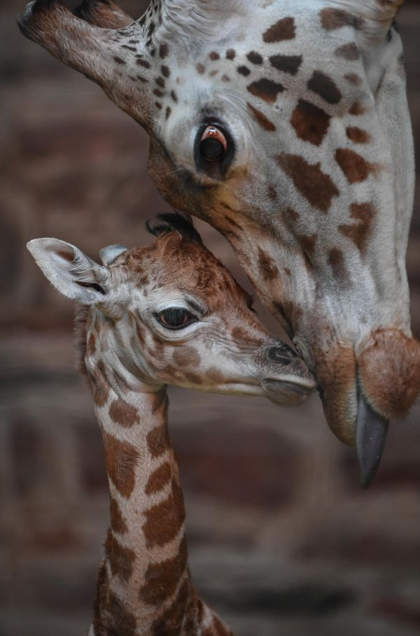 "Keepers at Chester Zoo call this rare Giraffe calf, born on December 26, the ""best Christmas gift.""  See more pics and video at ZooBorns.com and http://www.zooborns.com/zooborns/2017/01/giraffe-calf-is-the-best-christmas-gift.html"