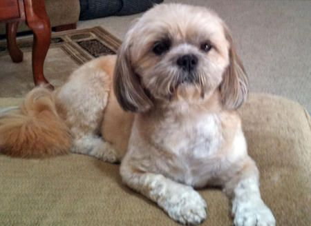 shih tzu mix breeds lulu the shih tzu mix shih tzu tibetan terrier mixed 3500