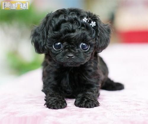THIS IS THE CUTEST THING IN THE WORLD!  Its a black teacup poodle!