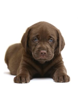 The three Rs of puppy education