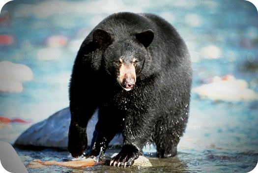 Symbolic Bear The primary meaning of the bear spirit animalis strength and…