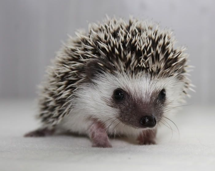 Image result for african pygmy hedgehog