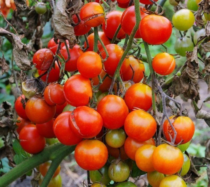 Фитофтора: как избавить томаты от злостного недуга   Рецепт №1 Болтушка   — 5 литров воды;  - 1 столовая ложка соды;  - 3 столовые ложки растительного масла;  - 1 чайная ложка жидкого мыла.  Соединить все ингредиенты, взболтать и сразу опрыскать растения из пульверизатора или специального опрыскивателя.   Рецепт №2 Хвойный отвар  - хвоя (еловая, сосновая) — 1 литровая банка;  - вода — 0,5 литра;  - мыло хозяйственное — 30 грамм.  Прокипятить хвою в течение 5 минут, остудить и процедить…