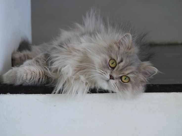 SIX STUNNING CAT BREEDS!