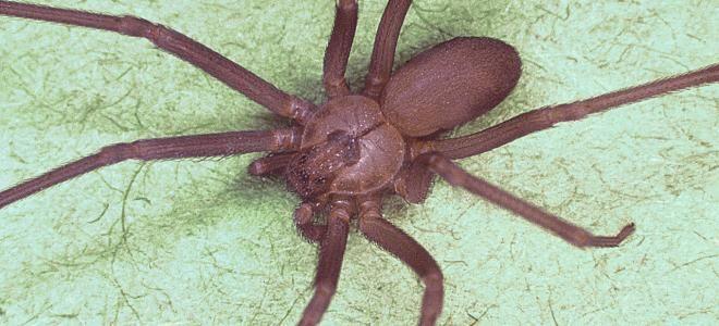 France : alerte sur une espèce d'araignée qui provoque des oedèmes