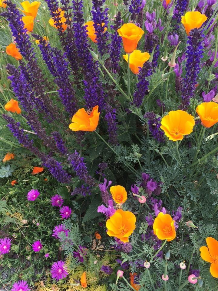 Drought tolerant plants on my sidewalk garden. Lavandula stoechas, Eschschoizia californica, Salvia nemerosa, Delosperma cooperi.