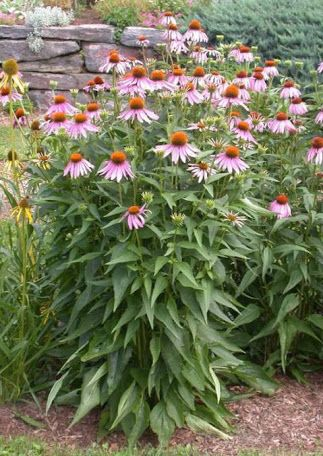 coneflower - Google Search
