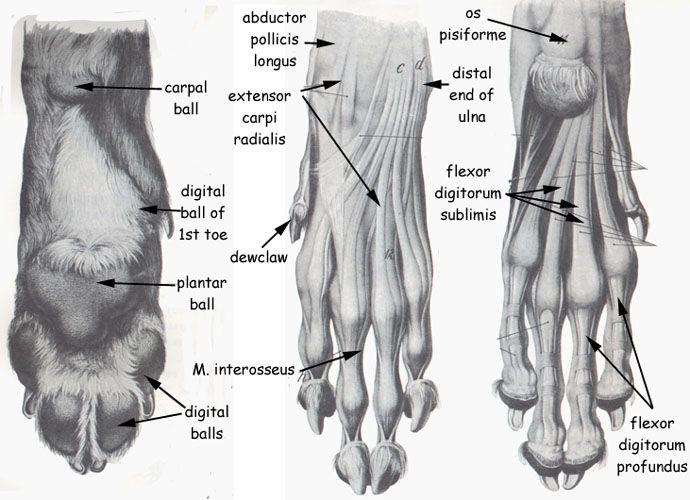 12 Best Dogs Anatomy Images On Pinterest Animal Anatomy Dog