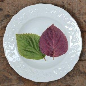 Perilla frutescens 'Britton' (Shiso bicolore) Graines - Le Shiso bicolore (Perilla frutescens 'Britton') est une plante aromatique de la famille des Lamiacées tout comme les sauges ou encore les menthes. Contrairement à la Perille de Nakin verte ou pourpre, le Shiso à feuilles bicolores est une variété d'origine vietnamienne, son feuillage est vert franc sur le dessus et pourpre au revers.