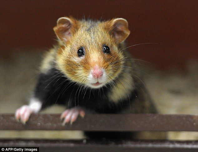 A diet of corn is turning wild hamsters in northeastern France into deranged cannibals tha...