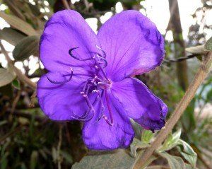 Tibuchina das flores roxas (Tibouchina urvilleana)