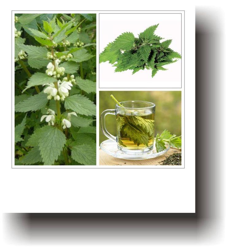 Plante medicinale – URZICA
