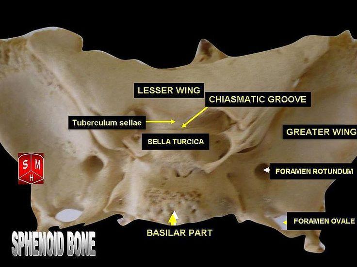 25+ melhores ideias de osso esfenoide somente no pinterest, Human Body