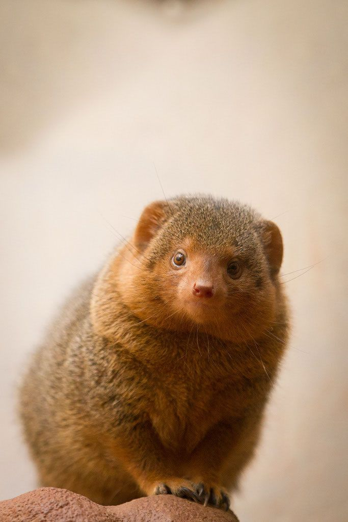 All sizes | mongoose | Flickr - Photo Sharing!