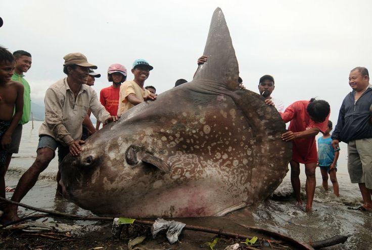 Sejumlah warga mengangkat ikan Molamola (hypopthalmichtys molitrix) raksasa yang terdampar di Pantai Taman Ria Teluk Palu, Sulawesi Tengah, ...