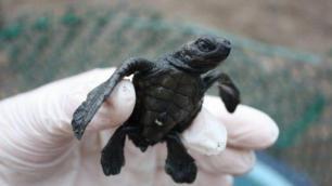 Pacific Sea Turtle Volunteer Project, Costa Rica | Global Volunteer Services / Work | Study Abroad Volunteer Programs