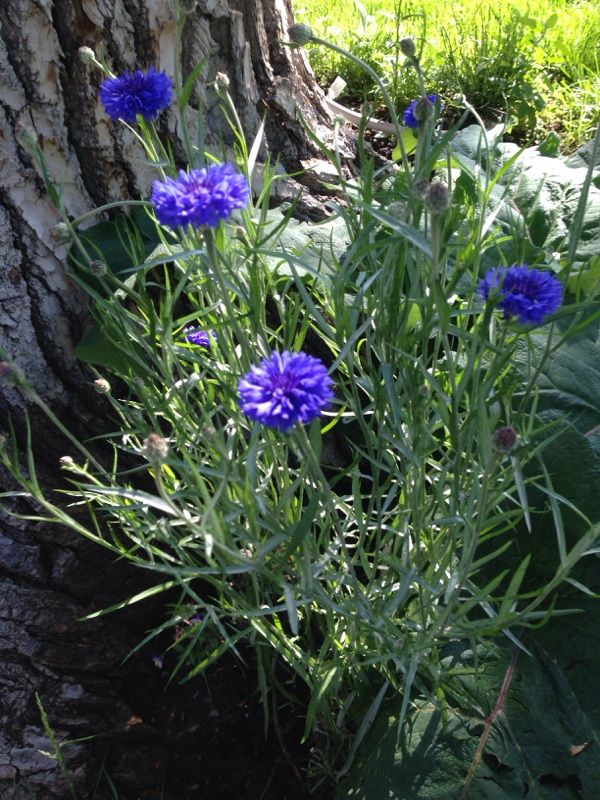 Bachelor Button Or Cornflower Centaurea Cyanus Your Plant Is A Popular Annual With Narrow Greenish Gray Foliage And Flowers Plants Foliage Bachelor Buttons
