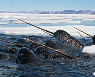 Narwhals! Definitely visiting the arctic waters for a glimpse of these elusive creatures.