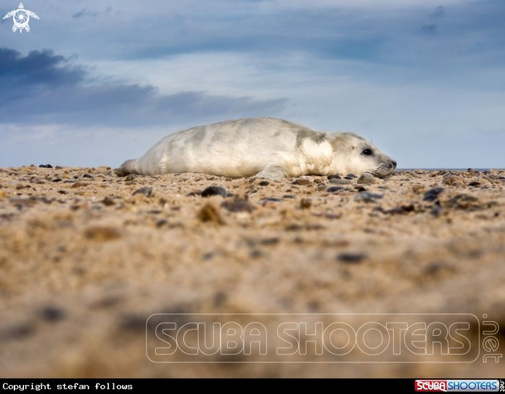 Grey Seal puppy  in Horsey - Norfolk - England