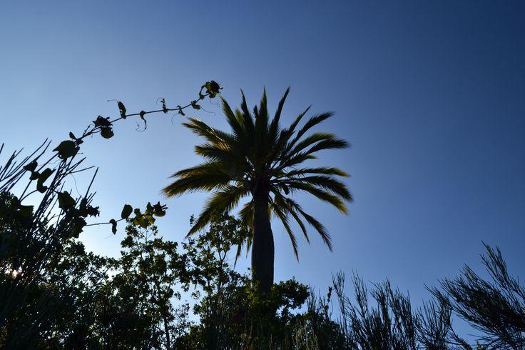 una palma chilena solitaria en el bosque de Robles