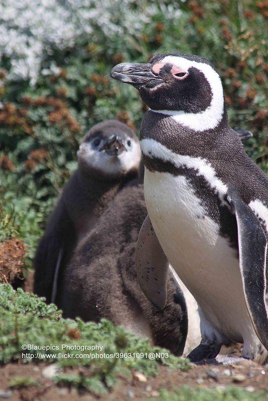 ˚Magellanic Penguins - Punta Arenas, Chile