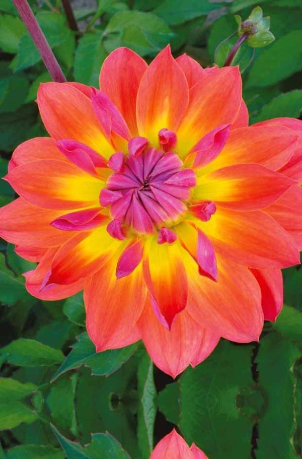 Dahlia 'Tricolore'