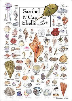 All of the shells you will find while shelling on Sanibel