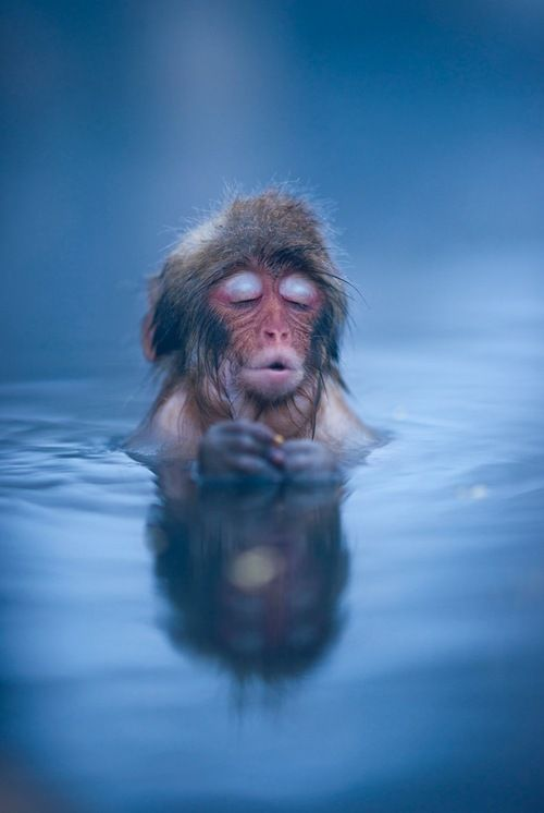 relaxed snow monkey