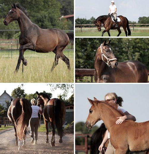 Persönliches Pferdehof Nudow, Dressurreiten, Englisch Reiten, Springreiten, Vielseitigkeitsreiten, Trakehnerzucht, Jungpferdeausbildung, Pferdeaufzucht, Fohlenaufzucht, Gekörter Hengst