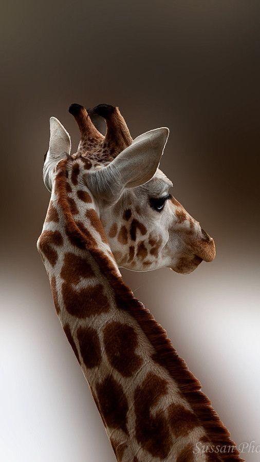 Giraffe ✿⊱╮