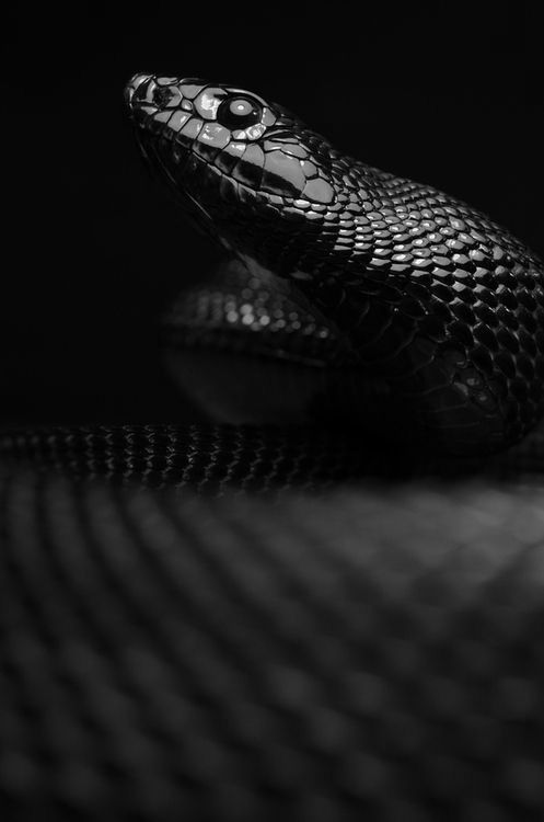 20 best stuff black mamba images on pinterest snakes for Black mamba tattoo