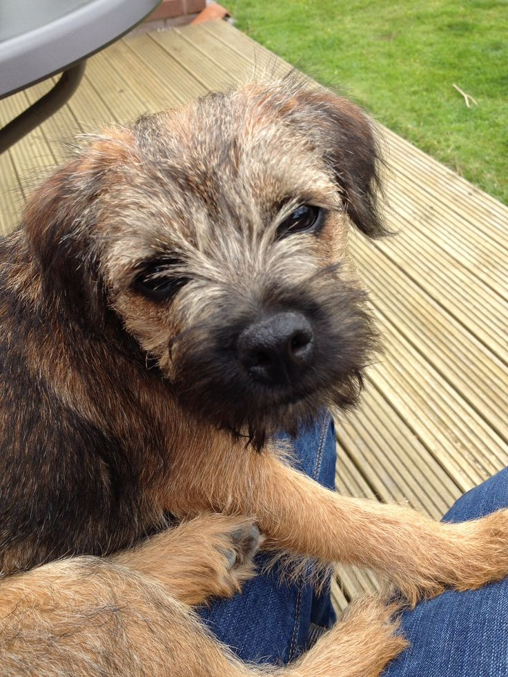 Pip our Border Terrier pup