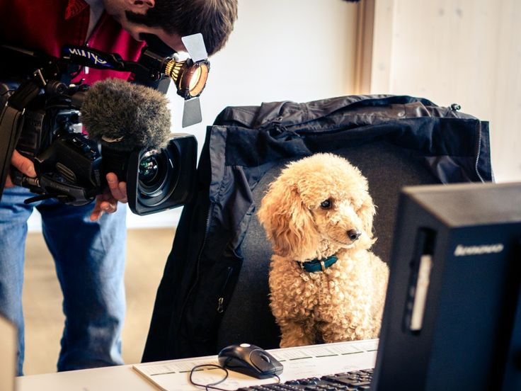 """Hollywood lässt grüßen! Unser Büropudel Wilma kommt ins Fernsehen: Als Finalistin im Wettbewerb """"Kollege Hund"""" beim #Tierschutzbund ist unsere kleinste Mitarbeiterin am Donnerstag um 19:30 Uhr in der #WDR Lokalzeit aus Bonn zu sehen. Wir freuen uns drauf und Wilma ist erleichtert, dass die Kameras wieder aus dem Büro verschwunden sind"""